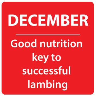 Dec- Good nutrition key to successful lambing